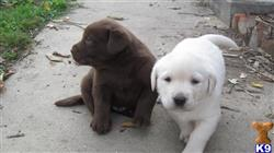 labrador retriever puppy posted by kristystrawn