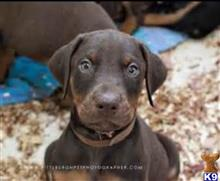 doberman pinscher puppy posted by kschwarzy
