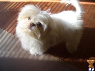 Shih Tzu Puppy For Sale Creamywhite Shih Tzu Liver Nose Dolls 10