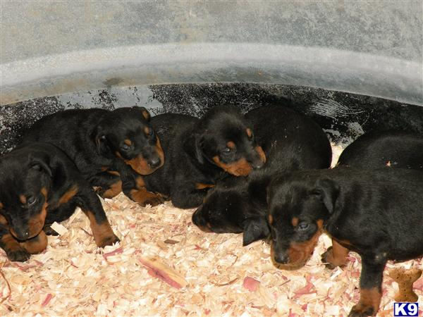 AKC Dobermans Due in June 13 2013