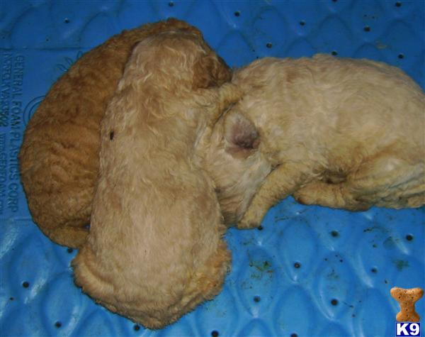 mini goldendoodle puppies. miniature goldendoodle puppies for sale. dresses Florida Puppies for sale