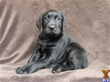 labrador retriever puppy posted by labhaven