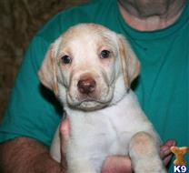 labrador retriever puppy posted by labsrj2