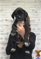 great dane puppy posted by ladolcevitadanes