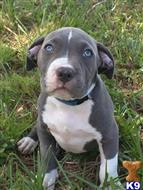 american pit bull puppy posted by ladyami51
