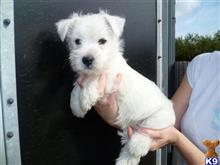 west highland white terrier puppy posted by larrydiamond242