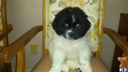 newfoundland puppy posted by larryh