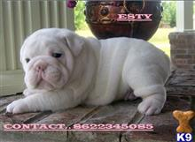 bulldog puppy posted by larrymicheal3