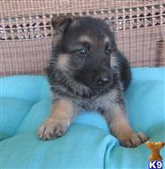 german shepherd puppy posted by laura36804