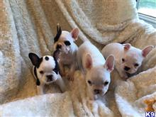 french bulldog puppy posted by lauralane