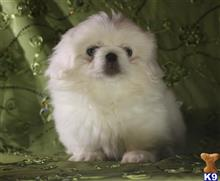 pekingese puppy posted by laurilyn_2000