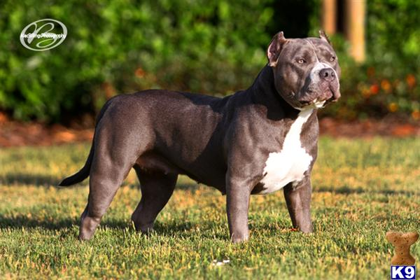 American Pitbull Dog For Sale In Lahore