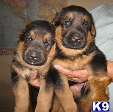Gentle Giant German Shepherd Puppies