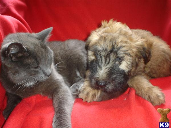 wheaten terrier puppies. wheaten terrier puppies.
