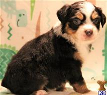 cavalier king charles spaniel puppy posted by levijones424