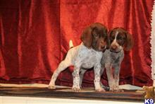 german shorthaired pointer puppy posted by levijones424