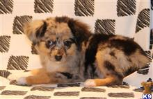 miniature australian shepherd puppy posted by levijones424