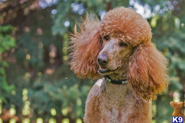 ... red standard poodle stud handsome healthy dark red proven akc standard