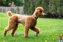Poodle Stud Dogs In Illinois
