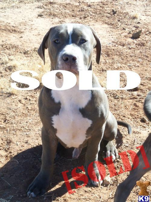 Puppies For Sale In Albuquerque >> Document Moved