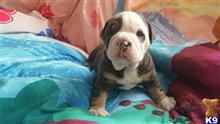 old english bulldog puppy posted by lilacking