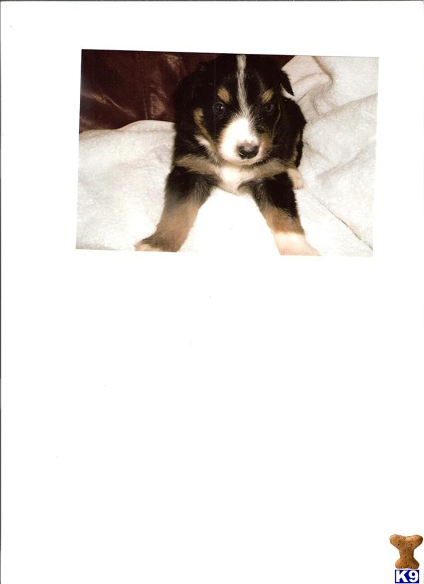 australian shepherd puppy posted by limebriar pups