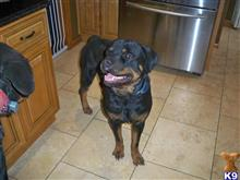 rottweiler puppy posted by lindamil6449