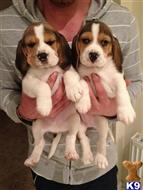 beagle puppy posted by lisalolomork