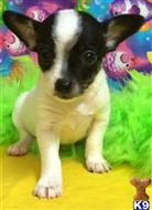 chihuahua puppy posted by little paws kennel
