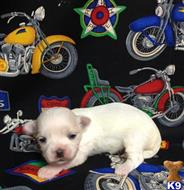 maltese puppy posted by little paws kennel