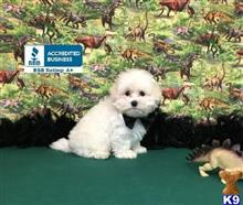 maltipoo puppy posted by little paws kennel