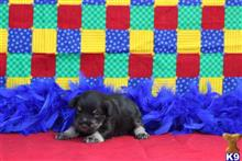 miniature schnauzer puppy posted by little paws kennel