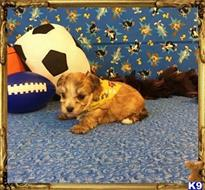mixed breed puppy posted by little paws kennel