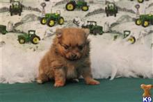 pomeranian puppy posted by little paws kennel