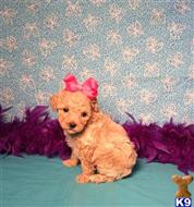 poodle puppy posted by little paws kennel