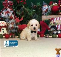 schnoodle puppy posted by little paws kennel