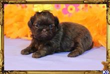 shih tzu puppy posted by little paws kennel