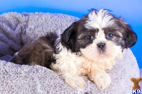 teacup shih tzu puppies for sale in ohio tiny shih tzu puppies for sale in ohio