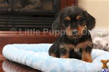 dachshund puppy posted by littlepuppiesonline
