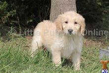goldendoodles puppy posted by littlepuppiesonline