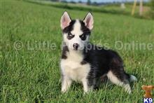 siberian husky puppy posted by littlepuppiesonline