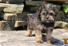 yorkshire terrier puppy posted by littlepuppiesonline