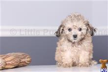 bichon frise puppy posted by littlepuppiesonline2