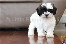 shih tzu puppy posted by littlepuppiesonline2