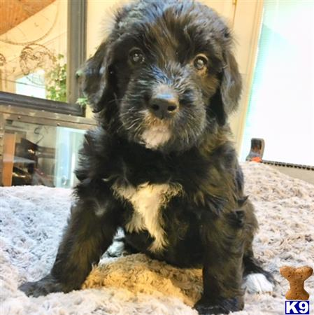 Mixed Breed Puppy For Sale Bernedoodle Puppies 3 Years Old