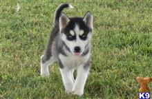 siberian husky puppy posted by lizzymunga