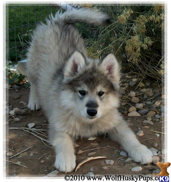 Cute Wolf Dog Mix