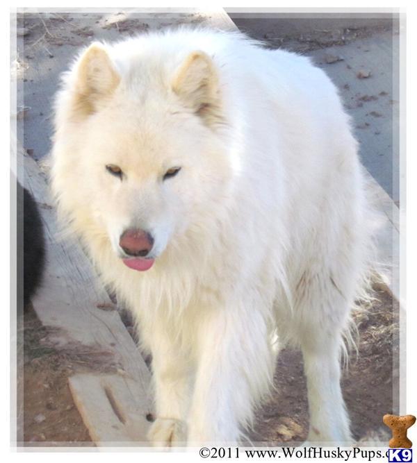White wolf puppy