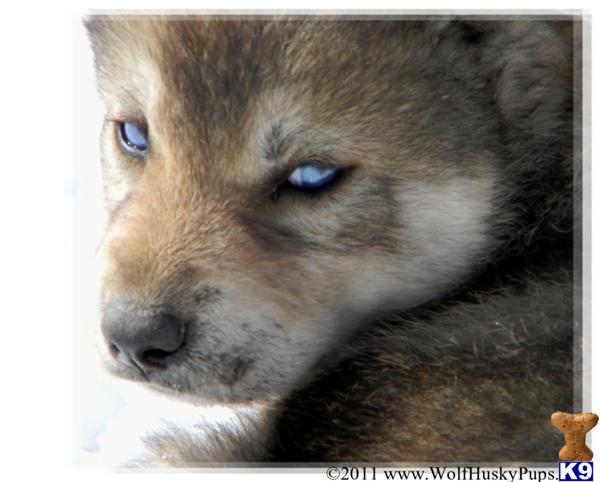 Wolf Hybrid Puppies For Sale - Website of liqejava!