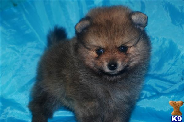 pomeranian california pomeranian puppies for sale in california southern 9716